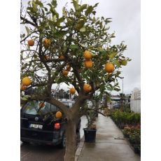 Portakal Ağacı Portakal Fidanı 220-250 Cm
