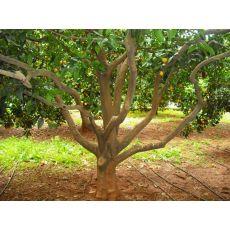 Portakal Ağacı Portakal Fidanı Gövde Çevreisi 20-25 Cm