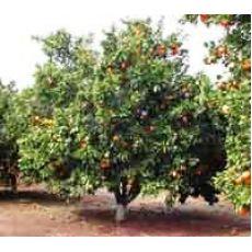 Portakal Ağacı Portakal Fidanı Gövde Çevreisi 30-35 Cm
