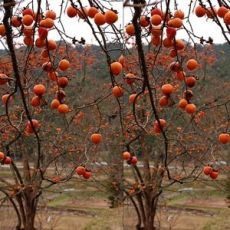 Trabzon Hurması Fidanı Ağacı Cennet Hurması Ağacı