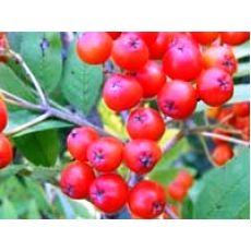 Üvez Fidanı Sorbus Aşılı 40-60 Cm
