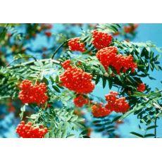 Üvez Fidanı Sorbus 80-100 Cm