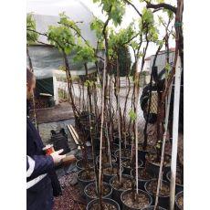 Asma Üzüm Ağacı Kokulu Laz Üzümü 200 Cm
