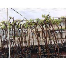 Üzüm Asma Ağacı  Red Globe Kırmızı 250 Cm
