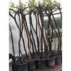 Üzüm Asma Ağacı  Yalova İncisi Sarı 250 Cm 14-16 Cm Gövde Çevresi