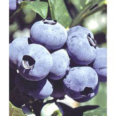Yaban Mersini Fidanı Brigitta Likapa  Blueberry