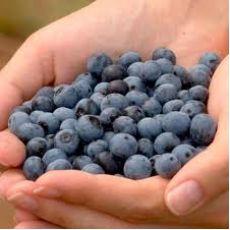 Yaban Mersini Fidanı Bluecrop Likapa  Blueberry
