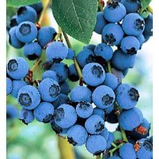 Yaban Mersini Fidanı Denise Blue  Likapa  Blueberry