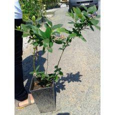 Yaban Mersini Fidanı Oneal Likapa  Blueberry 20-40 Cm
