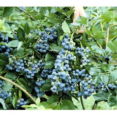 Yaban Mersini Fidanı Sharp Blue Likapa  Blueberry