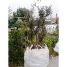 Zeytin Ağacı Doğal Halde Budanmış