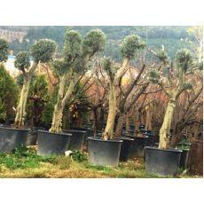 Zeytin Ağacı Ponpon Şekli Verilmiş