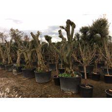 Zeytin Ağacı Ponpon Şekli