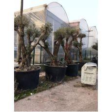 Zeytin Ağacı Ponpon Şekilli Budanmış
