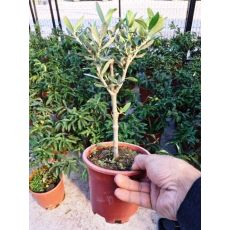 Zeytin Fidanı bonsai 20-25 Cm