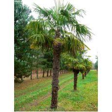 Tüylü Palmiye Chamaerops Excelsa 2 Metre