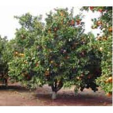 Portakal Fidanı Yafa 80-100 Cm