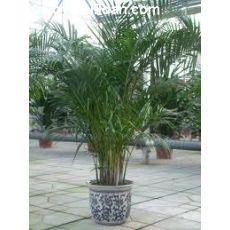 Areka Palmiyesi Areca Lutescens 130-150 Cm