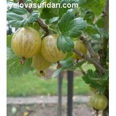 Bektaşi Üzümü Ribes Sarı Meyveli Uva-Crispa