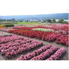 Begonya Çiçeği Begonie 45 Adet Fiyatımızdır
