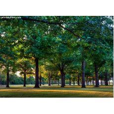 Çınar Ağacı Platanus Occidentalis 10-12 Cm Çapında