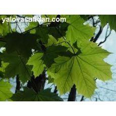 Çınar Ağacı Platanus Occidentalis 8-10 Çapında