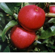 Elma Fidanı Yarı Bodur Mondiel Gala