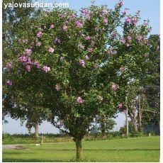 Hatmi Ağaç Fidanı Hibiscus Syriacus 40-60 Cm