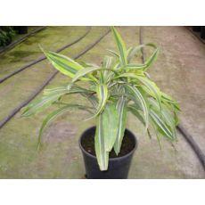 Deremensis Drecena Deremensis 50-60 Cm