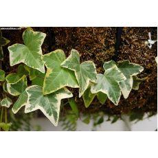 Orman Sarmaşığı Havayı Temizleyen Bitki Yıldız Yapraklı Askılı Saksıda 30-40 Cm