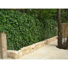 Sarmaşık Yeşil Yapraklı 175-200 Cm