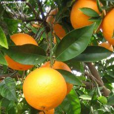 Portakal Fidanı  120-140 Cm