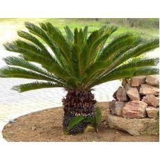 Sikas Cycas Revoluta 150-160 Cm Yapraklı Boyu