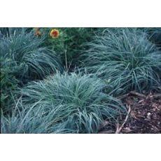 Mavi Çim Festuka Saksı İçinde Carex Festuca Glauca
