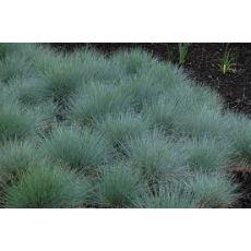 Mavi Çim Festuka Pot İçinde Carex Festuca Glauca