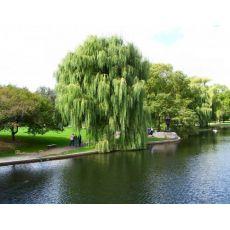 Salkım Söğüt Salix Babylonica