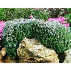 Kekik Fidanı Thymus Serpyllum Thymus Vulgaris 10-15 Cm