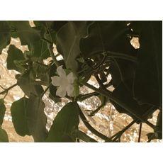 Ağaç Bamyası Fidanı Araujia sericifera
