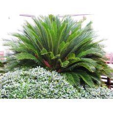 Sikas Cycas Revoluta 40-50 Cm