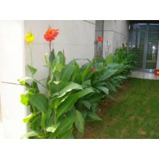 Tesbih Çiçeği Kanı Canna İndica 20-40 Cm