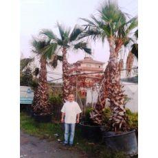 Tüysüz Palmiye Şamarobs Washington Filifera 400 Cm