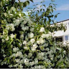 Arap Yasemini Çiçeği jasminum Officinale Grandiflorum