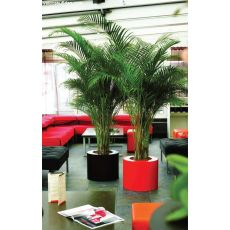 Areka Palmiyesi Areca Lutescens 80-100 Cm
