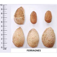Badem Fidanı Ferragnes Aşılı