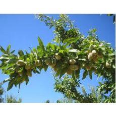 Badem Fidanı Ferragnes Meyve Verir Durumda
