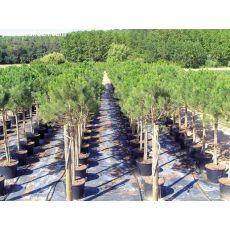 Fıstık Çam Pinus Pinea