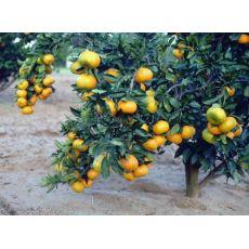 Mandalina Fidanı Satsuma 20-25 Cm