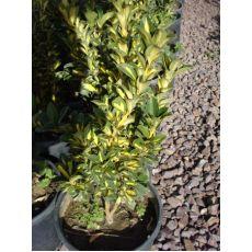 Alacalı Taflan Fidanı Euonymus Japonica Variegata