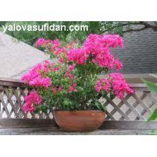 Bodur Begonvil Fidanı Çiçeği Bougainvillea Glabra 25-30 Cm Çapında