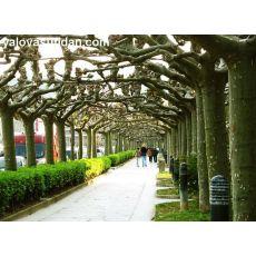 Çınar Ağacı Platanus Occidentalis 90-110 Cm